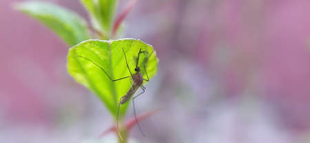 Culex pipiens Insects on leaf in indian village garden image Mosquitoes image