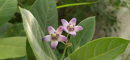 Giant calotrope plant, Calotropis gigantea, the crown flower in india
