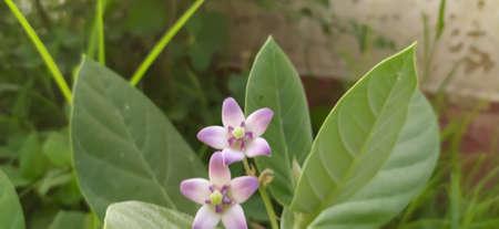 Giant calotrope plant, Calotropis gigantea, the crown flower in india Reklamní fotografie