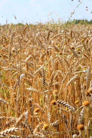 grain field Stock Photo - 3446004