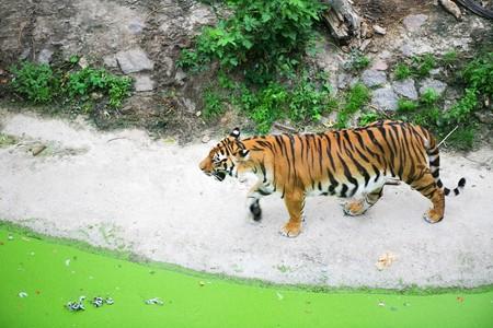 Wild tiger Stock Photo - 4450187