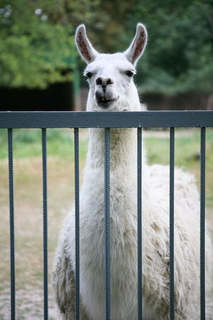 lama in the zoo Stock Photo - 4925383