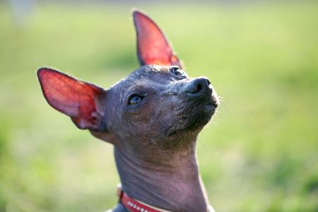 Mexican Hairless Dog Stock Photo