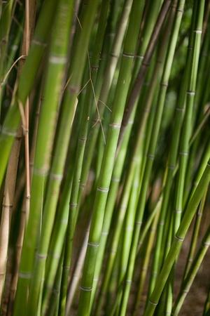 bamboo tree: Green bamboo background