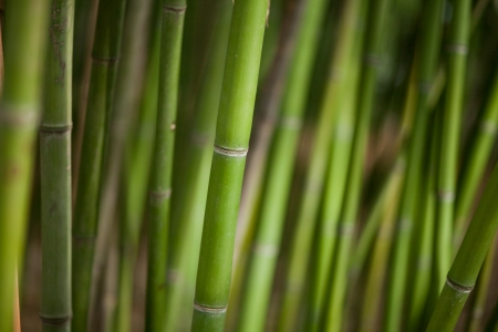 Green bamboo background. Tropical climate photo