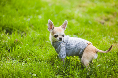 toy terrier: Cane in strada. Autunno, Toy Terrier