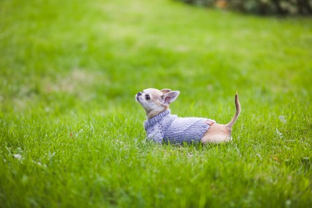 toy terrier: Dog on the street. Autumn, Toy Terrier
