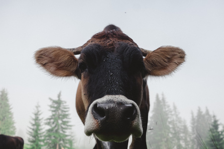 A Carpathian dairy cow with the traditional bell around her neck, high in the mountains. A mountain scenery can be seen behind.