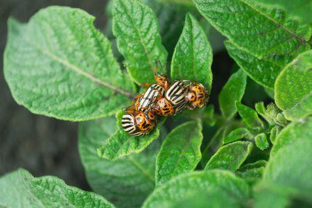 Colorado potato beetle, sitting on a potato foliage on a green background Stock Photo