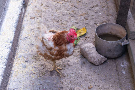 Lonely sick red hen stands on one leg