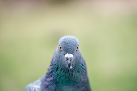 multicolored eye macro: Pigeon portrait, close up Stock Photo