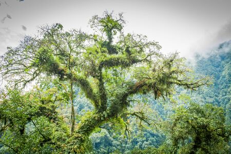 A tree full of parasitic plants stands in the Himalayan range of West Sikkim 写真素材