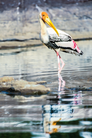 wading: A painted stork wading through the river shallows. Stock Photo