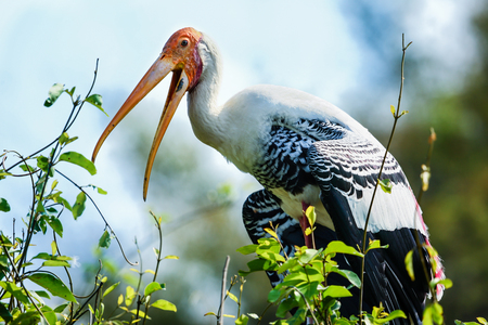 treetops: A painted stork perching in its nest in the treetops