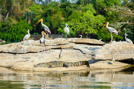 basking: A group of storks perched on a riverside rock with a crocodile basking in the sun in front.