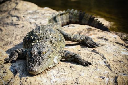 basking: A crocodile basking on some river rocks.