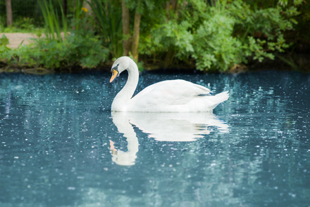 A white swan drifting on the water