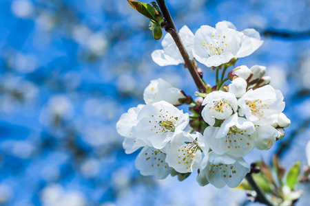 Bunches of Cherry Blossoms Blooming in the Spring. Stock Photo