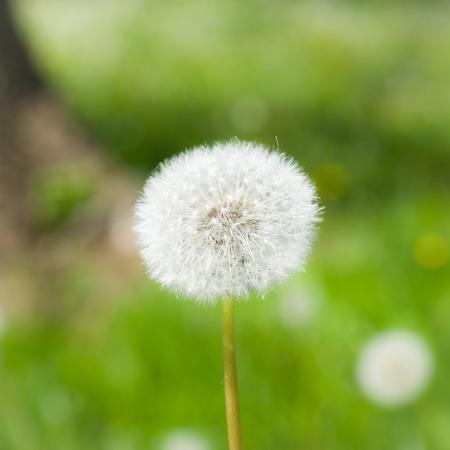 A macro shot of a dandelion puffball.