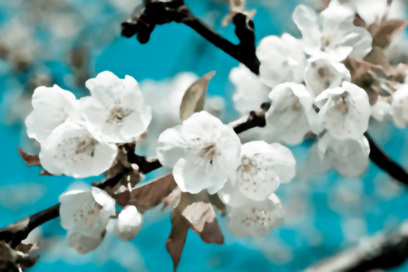 A cluster of cherry flowers blossoming in the springtime.
