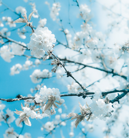 Bunches of white cherry blossoms.