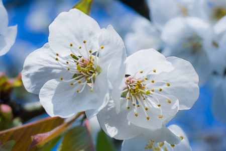 A macro shot of two white cherry blossoms in the spring.