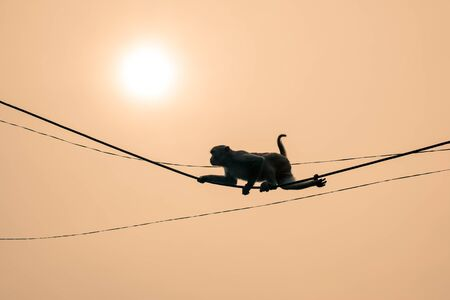 A monkey climbing on an electrical wire silhouetted against a sunset.