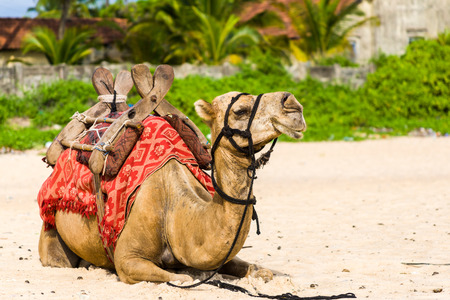 A camel resting on the sands of a tropical beach.