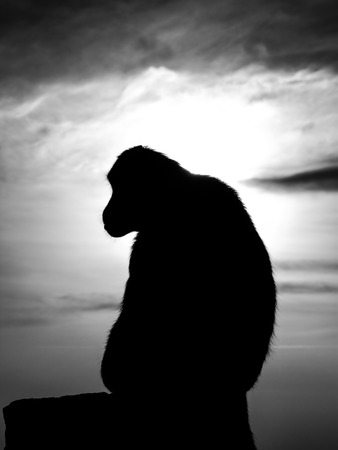 silhouetted: A monkey silhouetted by the setting sun.