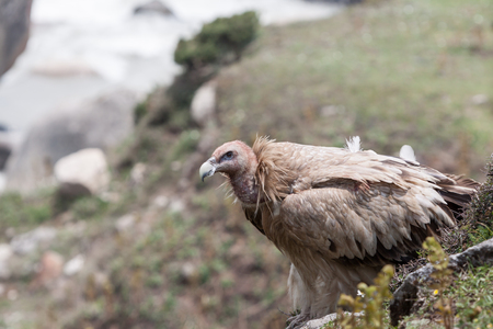A griffon vulture perched on a rock in the Indian Himalayas. Stock Photo