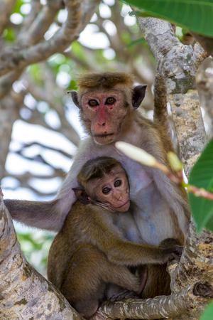 Monkey sitting in tree holding onto baby.