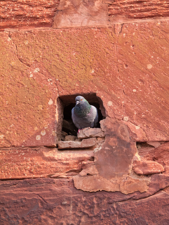 pigeon holes: A pigeon emerging from its hole in the walls of the Agra Fort in Uttar Pradesh, India.