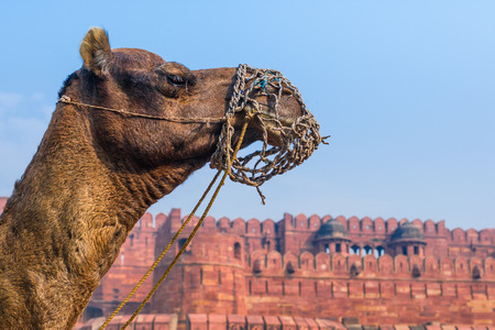 The Agra Fort in India with a camels head in the foreground.