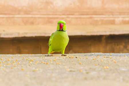 A green parrot, or Rose-Ringed Parakeet, in Rajasthan, North India.
