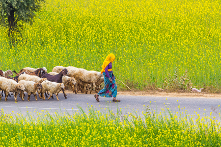 abhaneri: Abhaneri, India, 21st January 2017 - Villagers herding sheep on a road past mustard fields in Abhaneri, Rajasthan, India. Editorial