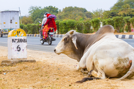 An Indian bull sitting on a national highway outside Jaipur city.
