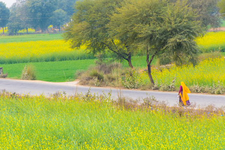 abhaneri: Abhaneri, India, 21st January 2017 - A woman walks on a road past mustard fields in Abhaneri, Rajasthan, India. Editorial