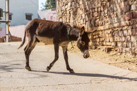 A donkey walking thru the streets of Jodhpur, Inda. Stock Photo