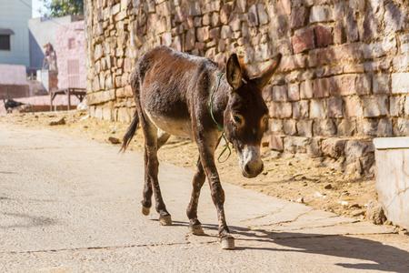 thru: A donkey walking thru the streets of Jodhpur, Inda. Stock Photo