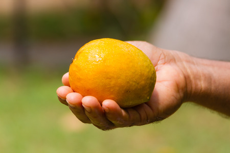 Golden Ripe Mango in an Indian man's hand.