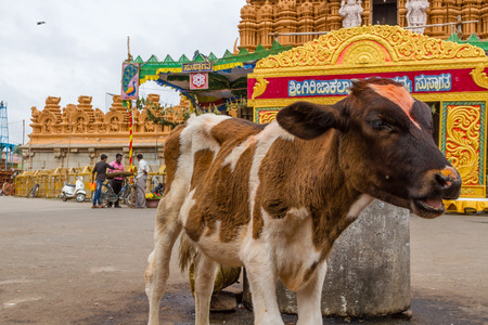 Nanjangud, India, 4th July 2017 - A calf outside a temple in India.