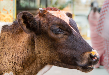 A calf outside a temple in India.
