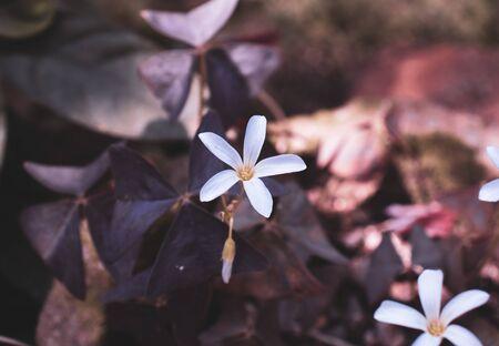 White false shamrock flower blossom in the garden pot