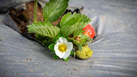 Strawberry is widely appreciated for its characteristic aroma, bright red color, juicy texture, and sweetness