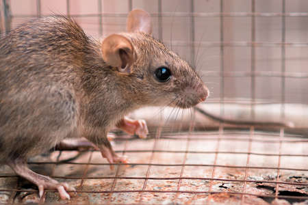 Carrier of diseases, Domestic rat trapped in a cage, back into a corner and looking for a way to escape.