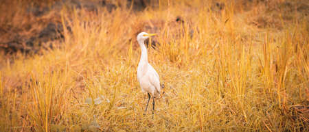 Great white egret standing and neck high at the harvested paddy field in the warmth of the morning sun. beauty of the nature and wild life.