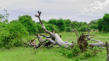 Large Fallen tree on the green grassy ground in Hambanthota Lunugamvehera National Park.