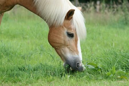 light brown horse: Haflinger during feeding