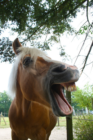 light brown horse: Horse Laughing Stock Photo