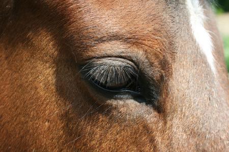 trakehner: Eye from Trakehner